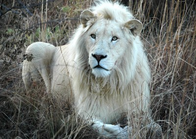 Incentive trip to South Africa: white lions!